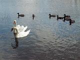 Лебеди в городском пруду